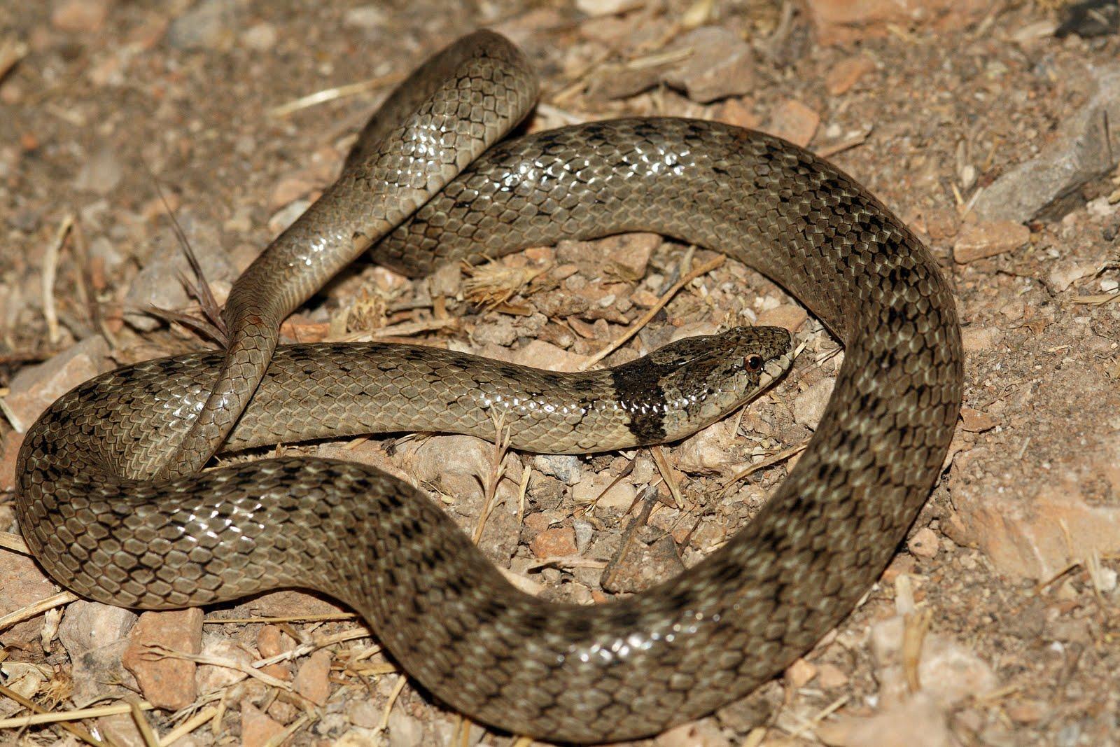 Fantástico Anatomía De Las Serpientes Motivo - Anatomía de Las ...