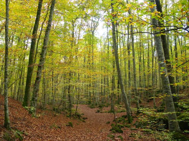Fageda d'en Jorda a la tardor Parc natural de la Zona Volcanica de la Garrotxa
