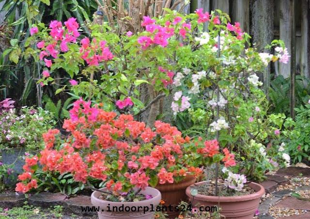 Bougainvillea glabra plant