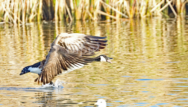 Canada Goose, flight take off