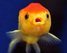 Jenis Ikan Koki Lionhead varian warna