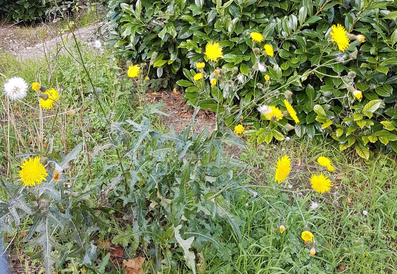 Michael peverett perennial sow thistle emsonchus arvensisem of the many dandelion like asteraceae species i do have several favourites though of those native to the uk this one has the biggest flowers mightylinksfo