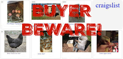 Buyer beware: auctions, swaps, fellow chicken keepers, poultry shows, newspapers and Craigslist are all risky places to get chickens.