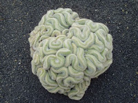 A light green cactus that looks like a human brain positioned on a black background