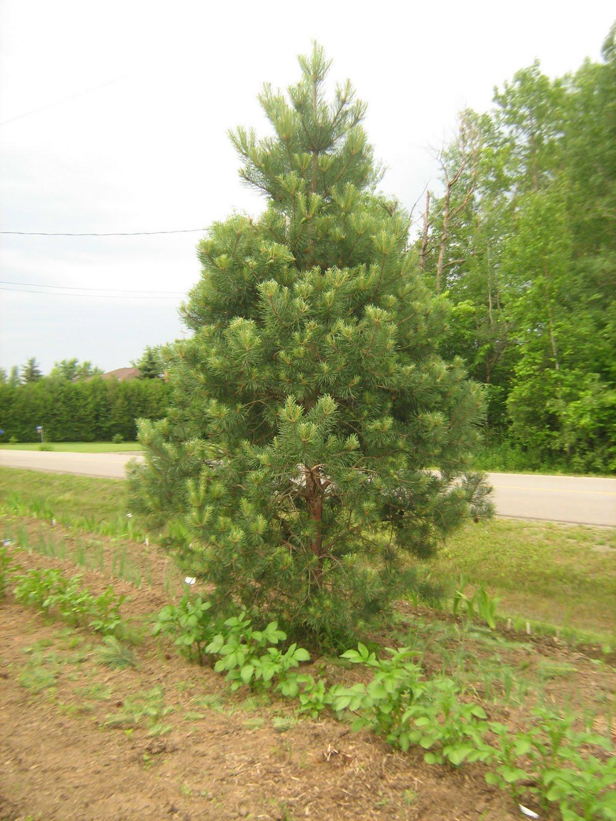 The Musical Gardener: Pruning Scotch Pine Christmas Trees
