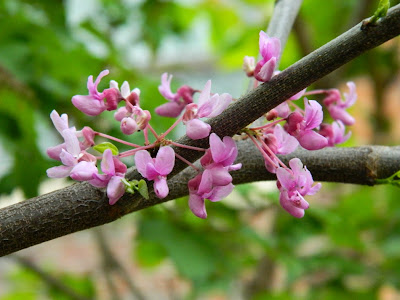 Cercis canadensis Eastern redbud flowers by garden muses-not another Toronto gardening blog