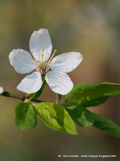 sliwa, drzewa, drzewo, kwiat, las legowy, legi, nad rzeka, warszawa, spacer, wycieczka, piekny dzien, na grzyby, grzybobranie