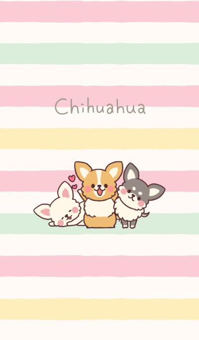 Small fluffy Chihuahua