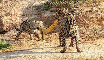 Macan tutul berebut ular besar sebagai makanannya