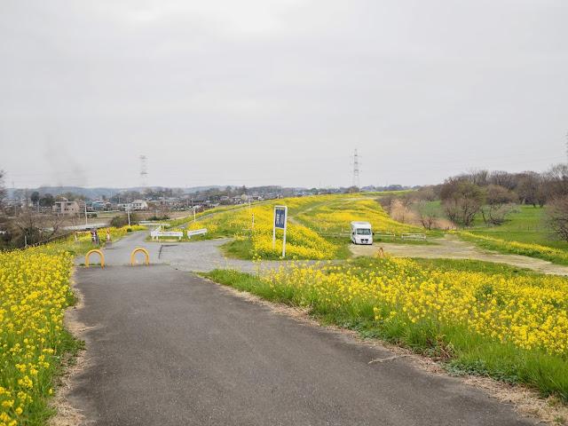 荒川自転車道 菜の花