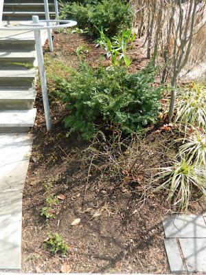 Summerhill Toronto spring front yard garden clean up after by Paul Jung Gardening Services