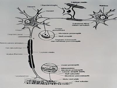 Gambar Anatomi Fisiologi Dan Jaringan Otot Manusia