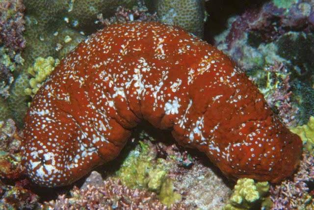 3-الأمواج الحمراء Actinopyga mauritiana )