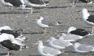 Yellow-legged Gull, St.John's, October