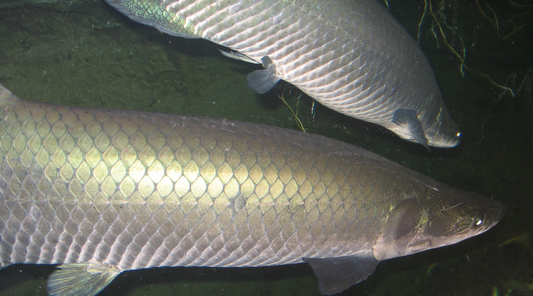 ikan yang terancam punah di amazon