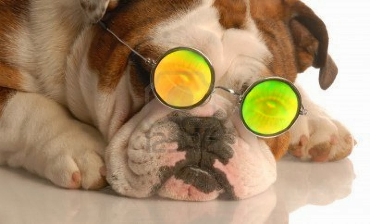 Cute Silly Wallpapers Cute Funny Animalz Funny Bulldog 2014