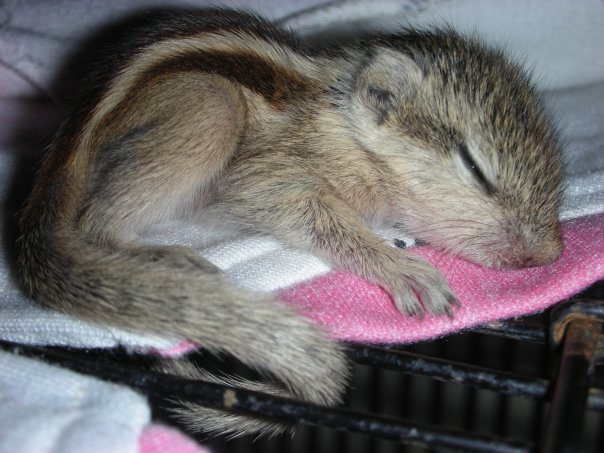 Caring For Indian Palm Squirrel Babies