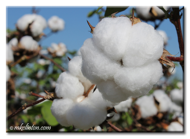 Close-up photo of cotton