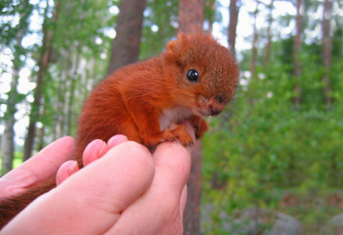 injured baby squirrel finland-1