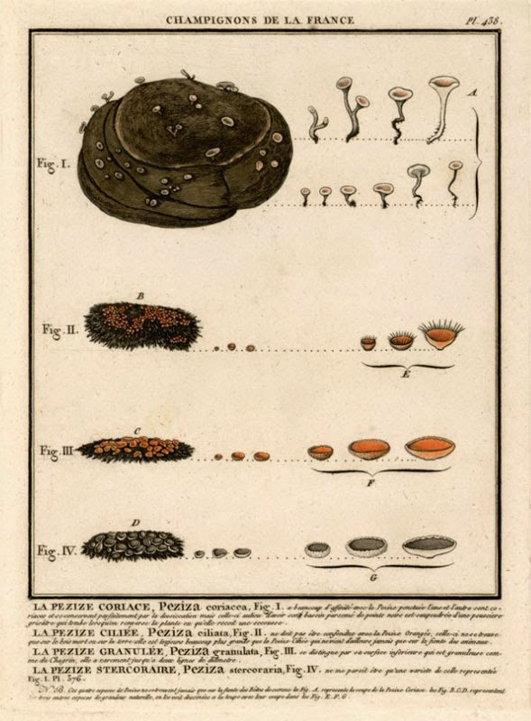 illustration of dung fungus 1790 Bulliard, including Cheilymenia stercorea
