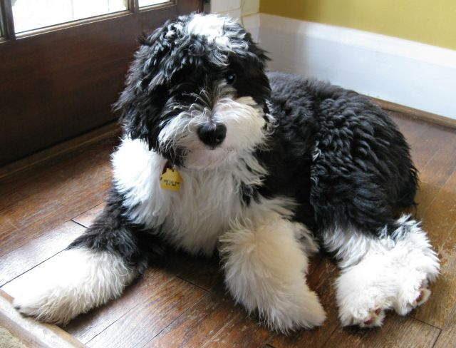 Cinnamon the Traveling Coonhound: So What's a Sheepadoodle?