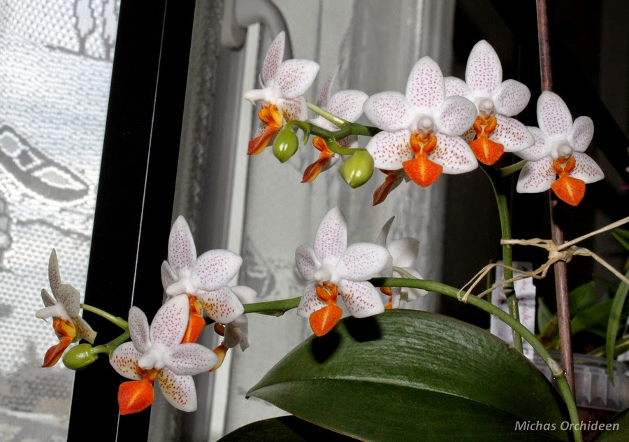 micha 39 s orchideen juli 2014. Black Bedroom Furniture Sets. Home Design Ideas