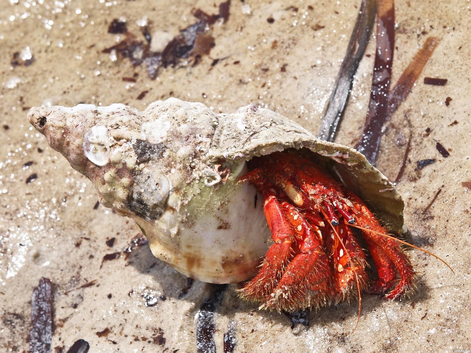 Hermit Crab | The Life of Animals