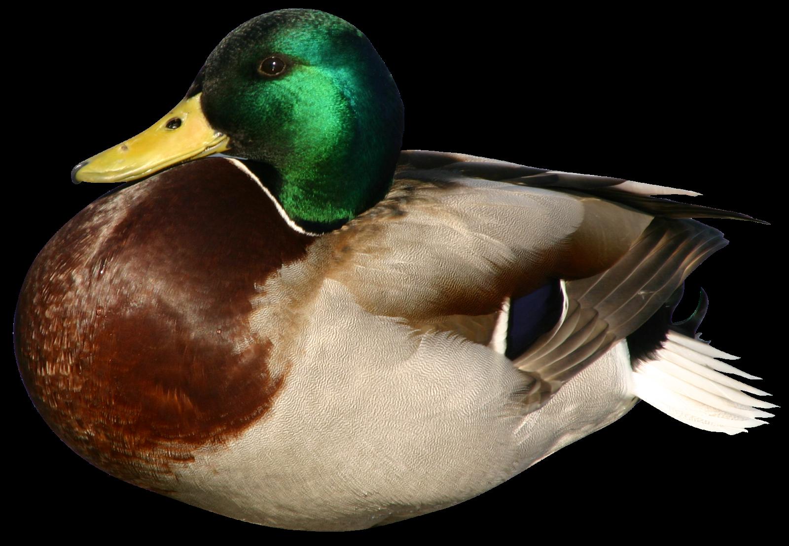 "Блог Колибри: PNG клипарт ""Птицы"""
