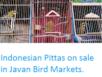 http://sciencythoughts.blogspot.co.uk/2016/02/indonesian-pittas-on-sale-in-javan-bird.html