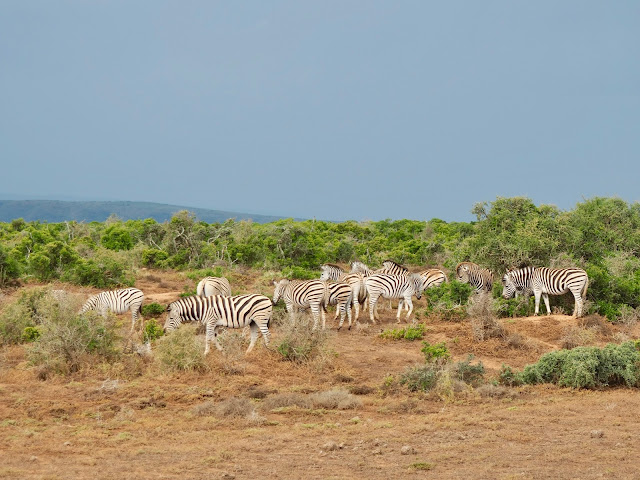 Zebra herd in Addo Elephant National Park, South Africa