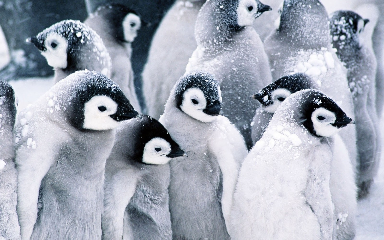 pinguin achtergronden hd wallpapers penguin clip art black and white penguin clipart free