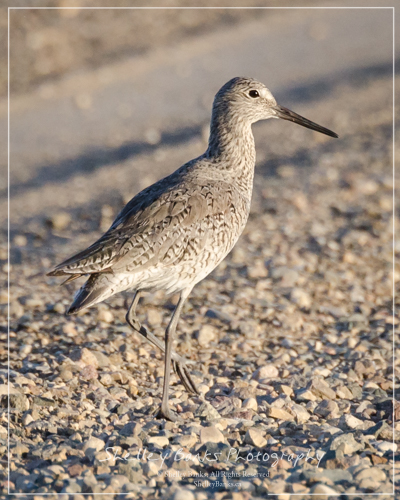Willet. Copyright © Shelley Banks, all rights reserved