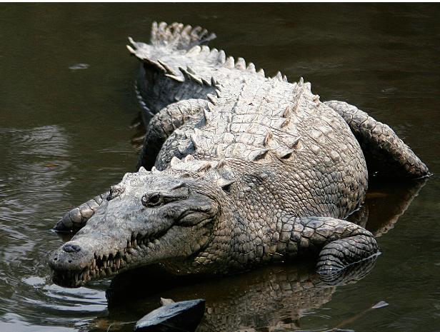 Va a Tabasco cocodrilo rescatado en Chiapas