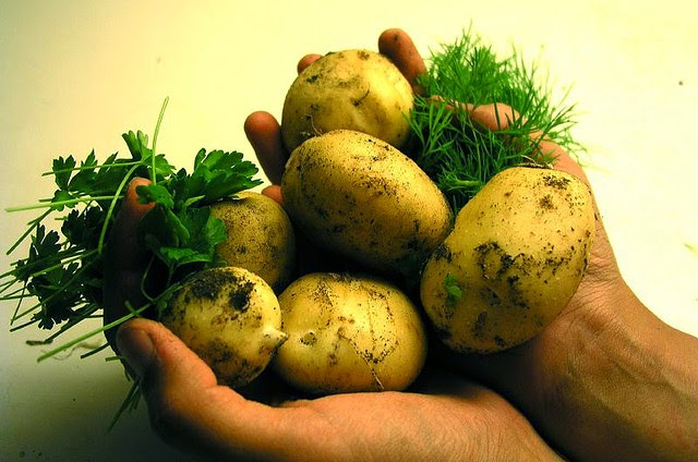 Picture of hands full of potatoes