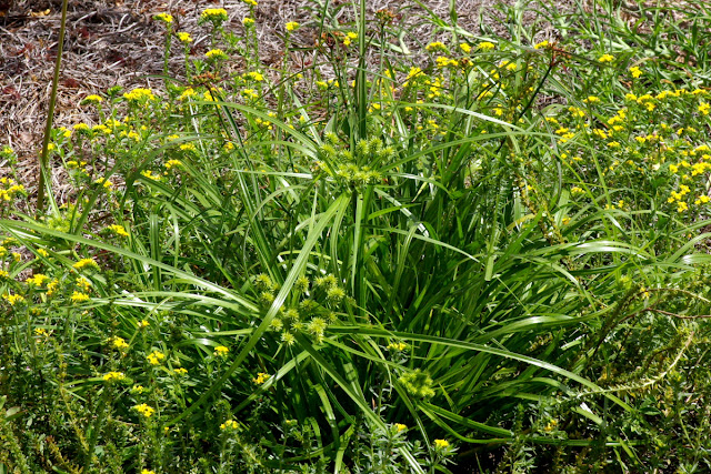 Cyperus croceus - Baldwin's Flatsedge - Yellow Flatsedge