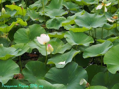 озеро лотосов фото