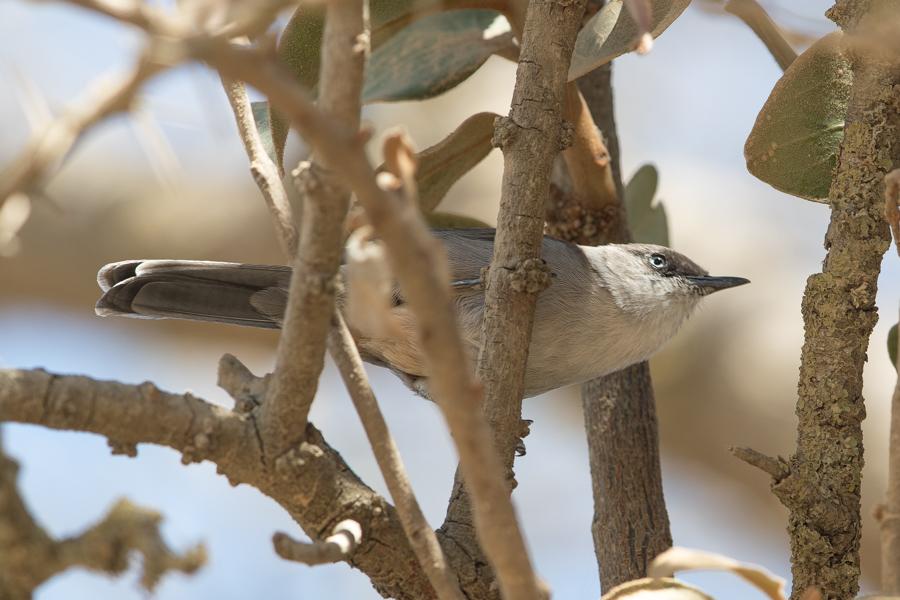 Yemen Warbler Sylvia buryi