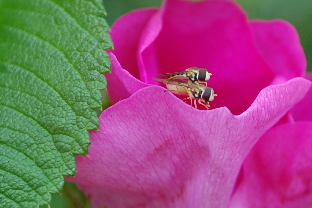 Flies on a Rose