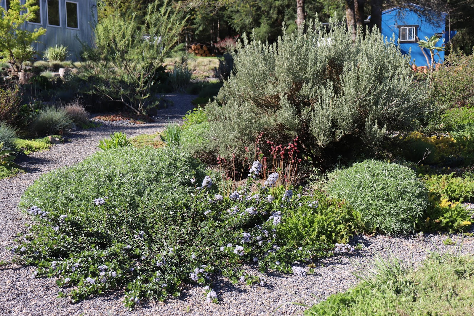 Ceanothus And Hebes At Chickadee Gardens
