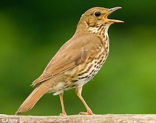 Download mp3 suara burung song thrush