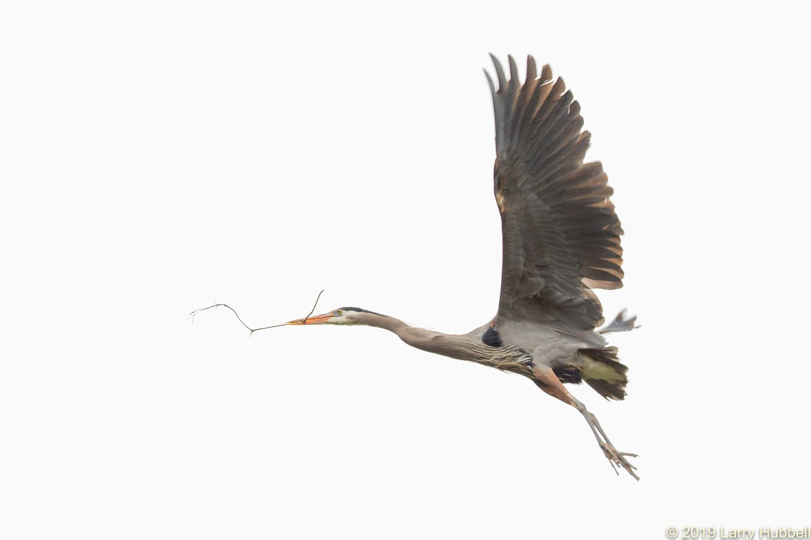 Laurelhurst Blog: All About Great Blue Herons At Union Bay