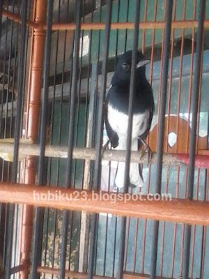 atau rontok bulu merupakan siklus alamiah pada keluarga burung Perawatan Dan Stelan Burung Kacer Mabung
