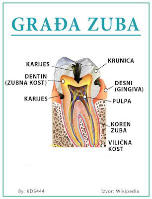Grafička građa zuba - Nešković Dent