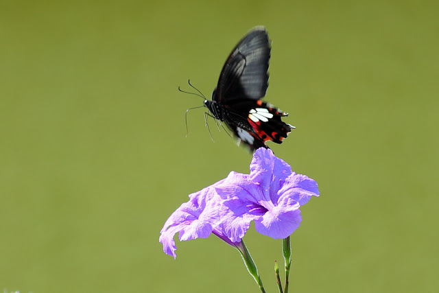 Black butterfly fly away from purple flowers