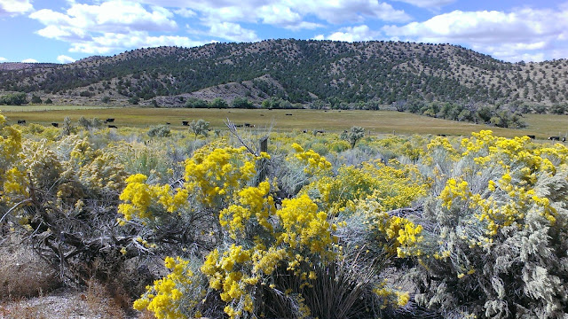 yellow flowery shrubs, tree dotted hills, and pasture lands around the Echo Canyon and Pioche, Nevada