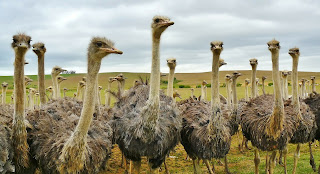 ostrich,top 10 big birds in the world