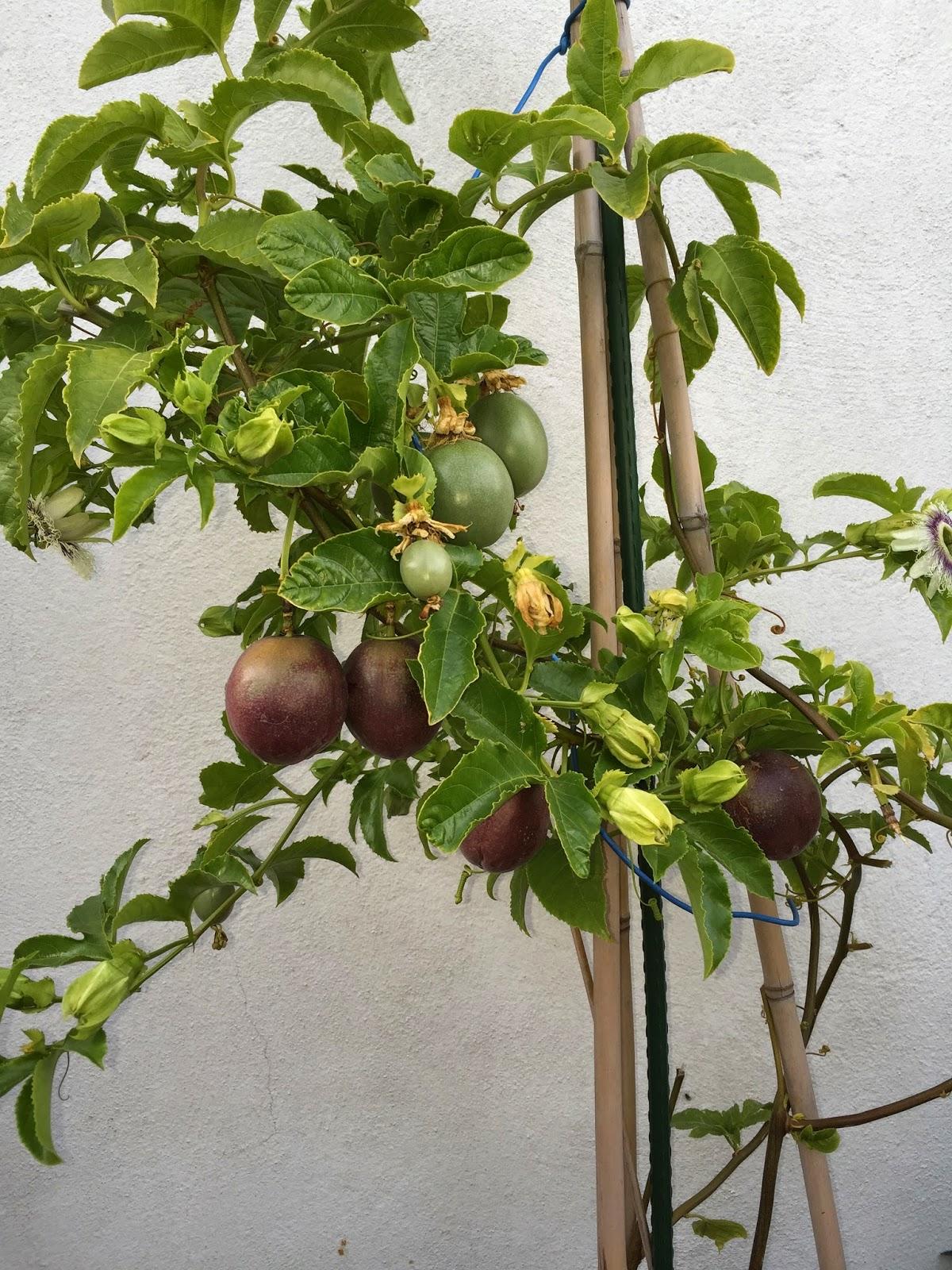 El campito de pelayo cultivo de la fruta de la pasi n for Cultivo de arboles frutales en macetas