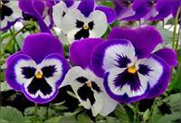 От цветов на которые смотрят к цветам которые едят, цветы, съедобные цветы, травы, съедобные травы, какие цветы можно есть, какие цветы нельзя есть, цветы в кулинарии, съедобный букет, какие цветы можно добавлять в еду, советы кулинарные, экзотическая кулинария, еда, кулинария, едят ли цветы, как есть цветы, рецепты из цветов, как добавлять цветы в еду, съедобные цветыОт цветов на которые смотрят к цветам которые едят, цветы, съедобные цветы, травы, съедобные травы, какие цветы можно есть, какие цветы нельзя есть, цветы в кулинарии, съедобный букет, какие цветы можно добавлять в еду, советы кулинарные, экзотическая кулинария, еда, кулинария, едят ли цветы, как есть цветы, рецепты из цветов, как добавлять цветы в еду, съедобные цветы, съедобные цветы в кулинарии, живые цветы в дизайне, съедобные цветы для женщин, съедобные комнатные растения, какие бывают цветы для кулинарии, цветы в кулинарии, цветы для украшения блюд, вкусные цветы, как сделать съедобный букет, настурция, съедобные букеты, какие цветы можно есть, какие цветы нельзя есть, пион, какие цветы пригодны в пищу, съедобные цветки в горшке, съедобные цветки растений, съедобные цветки кактуса, съедобные цветки лилии, съедобные цветки гибискуса, настурция цветки съедобные, какие цветы можно есть, какие части цветков можно есть, ядовитые цветки, как есть цветы, декор блюд съедобными цветами,