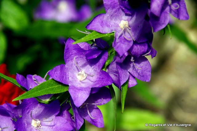 fleurs de Campanules.