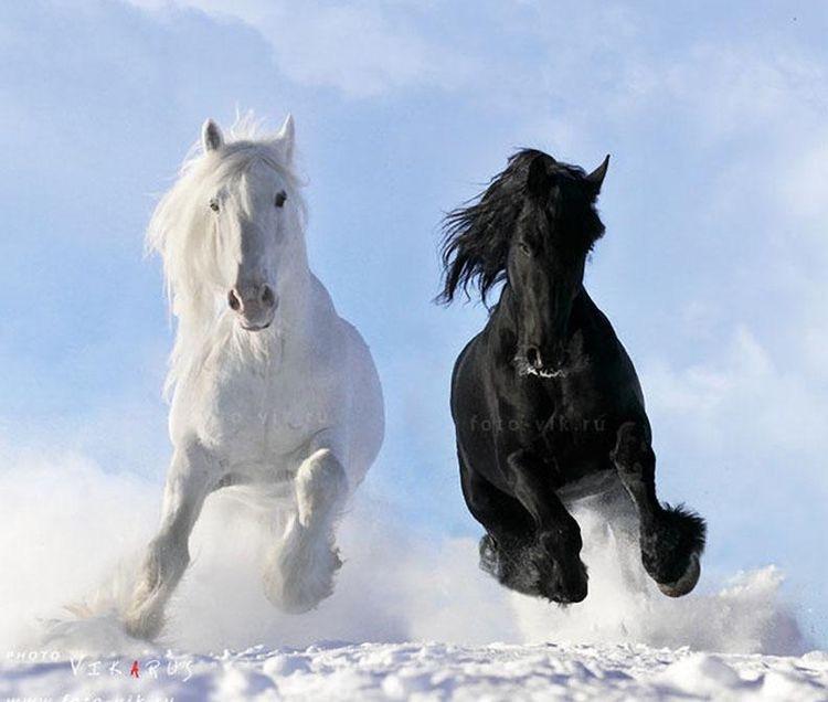 лошади черна и белая зимние скачки
